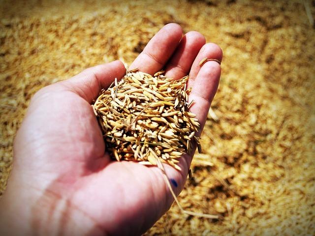 Dlaň držící semena z klasů obilí - Sociální zemědělství